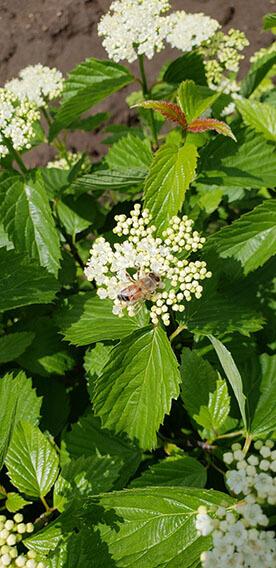 Viburnum dentatum Arrowwood Spring Flower Hedge Pollinators Bee Butterfly May 2019 (6)