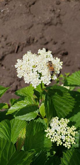 Viburnum dentatum Arrowwood Spring Flower Hedge Pollinators Bee Butterfly May 2019 (7)