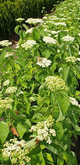 Viburnum dentatum Arrowwood Spring Flower Hedge Pollinators Bee Butterfly May 2019 (8)