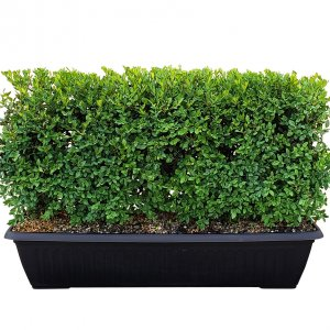 18 inch boxwood hedge in container
