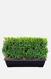 Buxus Green Mountain Boxwood Hedge