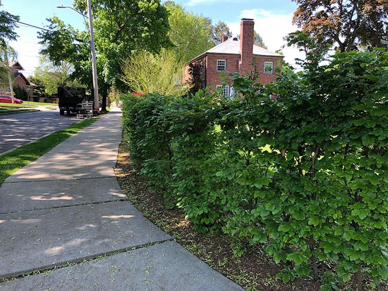 Fagus beech hedge landscape installation Newton Massachusetts (2)