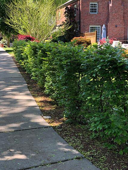 Fagus beech hedge landscape installation Newton Massachusetts (3)