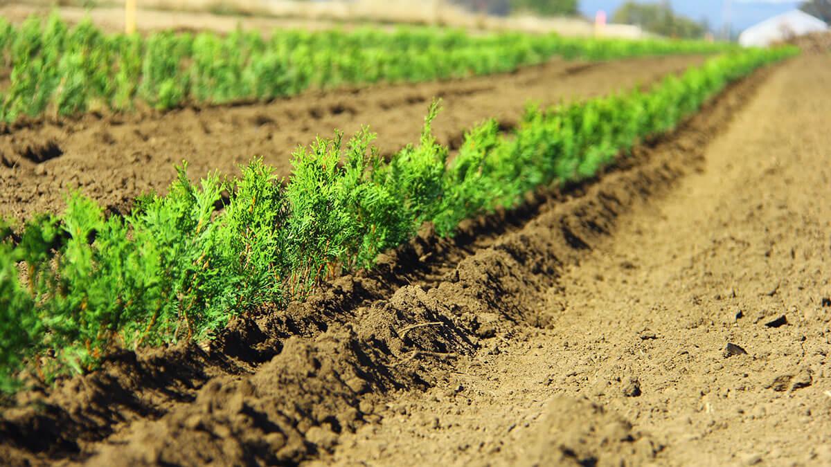 Buy Best Garden Hedges Already Grown At Instanthedge Oregon