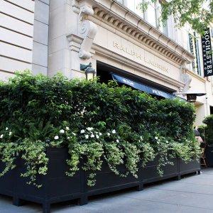 Prunus lusitanica Portuguese laurel hedge container Ralph Lauren Chicago September 2019 (1)