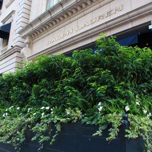 Prunus lusitanica Portuguese laurel hedge container Ralph Lauren Chicago September 2019 (3)