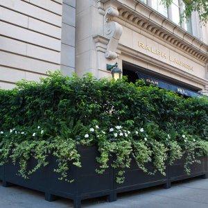 Prunus lusitanica Portuguese laurel hedge container Ralph Lauren Chicago September 2019 (4)