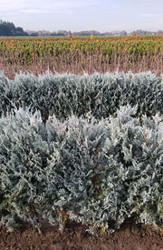 Wichita Blue Juniper Hedge