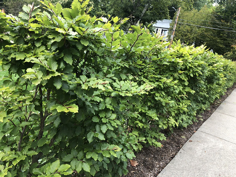 Fagus beech privacy hedge InstantHedge installation