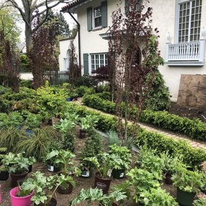 Buxus boxwood hedge InstantHedge install cottage garden