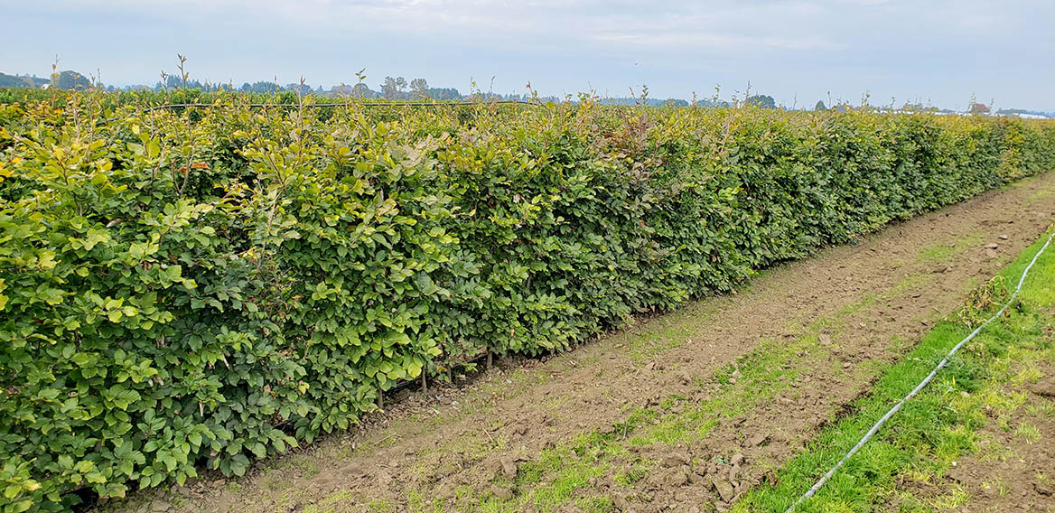 Mixed beech hedge (1)