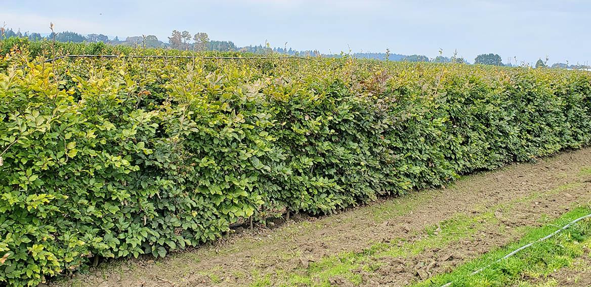 Mixed beech hedge (13)
