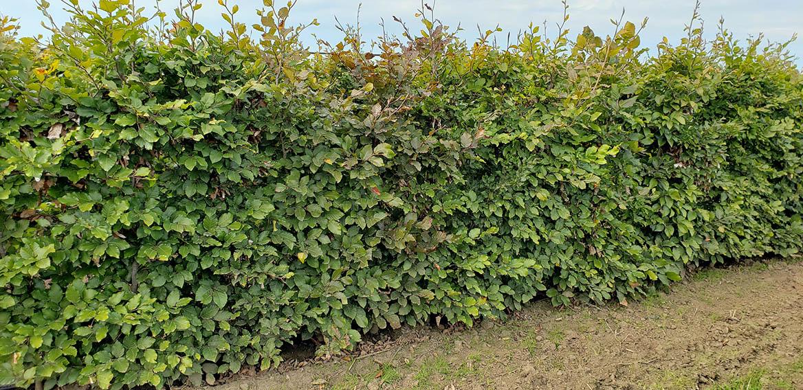 Mixed beech hedge (2)