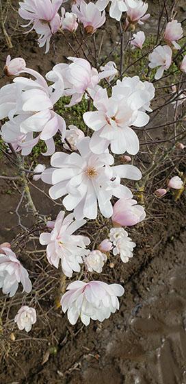 Magnolia, Royal Star magnolia, flowering hedge, fragrant hedge